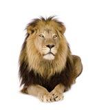 Leão (4 e uma metade dos anos) - Panthera leo Fotografia de Stock Royalty Free