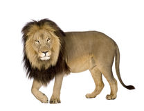 Leão (4 e uma metade dos anos) - Panthera leo Imagens de Stock Royalty Free