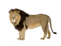 Leão (4 e uma metade dos anos) - Panthera leo Fotos de Stock Royalty Free