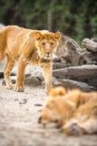 Leão fotos de stock royalty free