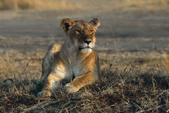 Leão Imagens de Stock Royalty Free