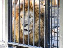 Leão Fotografia de Stock