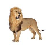 Leão (8 anos) - Panthera leo Imagens de Stock Royalty Free