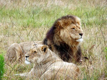 Leão adulto e leoa que colocam e que descansam na grama em África do Sul Fotos de Stock Royalty Free