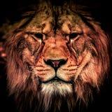 Leão adulto na obscuridade Retrato do animal africano perigoso grande Baixo efeito chave Imagens de Stock