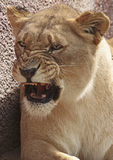 Leão africano Fotos de Stock Royalty Free