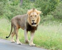 Leão africano Fotografia de Stock
