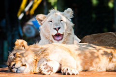 Leão africano bonito que sorri na câmera Imagens de Stock Royalty Free