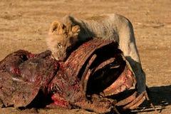 Leão africano de alimentação Imagens de Stock