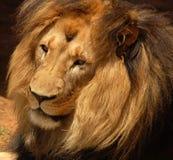 Leão africano de Barbary Foto de Stock