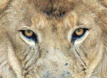 Leão africano do frame cheio, transvaal, África do Sul Foto de Stock