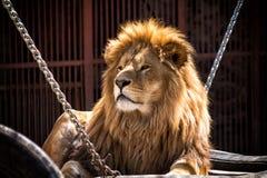 Leão africano grande imagem de stock