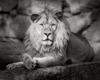 Leão africano II imagem de stock