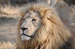 Leão africano masculino esplêndido (Panthera leo) Imagens de Stock Royalty Free