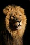 Leão africano masculino grande Fotografia de Stock