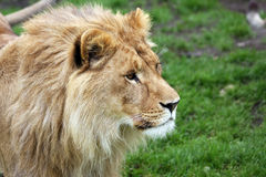 Leão africano masculino novo Fotografia de Stock