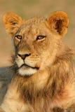 Leão africano novo Fotos de Stock