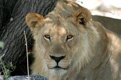 Leão africano novo Foto de Stock