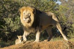 Leão africano (Panthera leo) com filhote África do Sul Fotografia de Stock Royalty Free