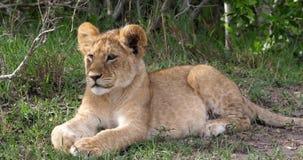 Leão africano, panthera leo, Cub estabelecendo, Masai Mara Park em Kenya, video estoque