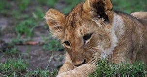Leão africano, panthera leo, Cub lambendo sua pata, Masai Mara Park em Kenya, filme