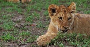 Leão africano, panthera leo, Cub lambendo suas patas, Masai Mara Park em Kenya, video estoque