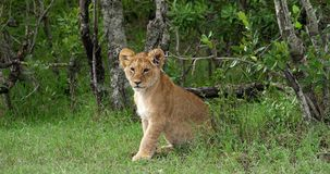 Leão africano, panthera leo, Cub, Masai Mara Park em Kenya, vídeos de arquivo