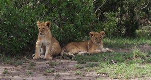 Leão africano, panthera leo, Cub que descansa, Masai Mara Park em Kenya, filme