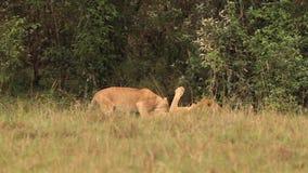 Leão africano, panthera leo, grupo que está perto de Bush, Cub que joga, parque de Samburu em Kenya, vídeos de arquivo