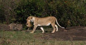 Leão africano, panthera leo, mãe que leva Cub em sua boca, Masai Mara Park em Kenya, filme