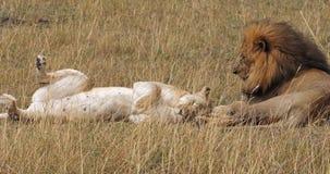 Leão africano, panthera leo, par que coloca na grama, Masai Mara Park em Kenya, filme