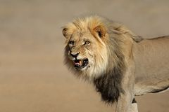 Leão africano Snarling Fotografia de Stock Royalty Free