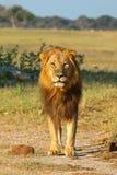 Leão africano, Zimbabwe, parque nacional de Hwange imagens de stock