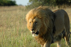 Leão alerta Fotografia de Stock