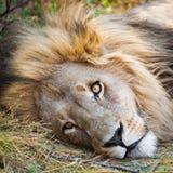 Leão alerta que encontra-se para baixo Foto de Stock