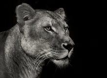 Leão arrogante imagem de stock royalty free