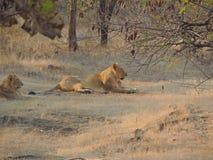 Leão asiático fotografia de stock