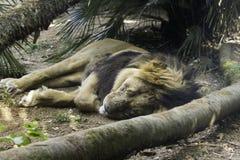 Leão asiático Imagens de Stock Royalty Free