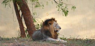 Leão asiático Fotografia de Stock Royalty Free