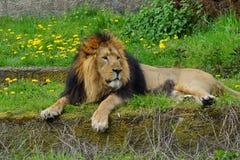 Leão asiático (persica) de leo do Panthera - espécie ameaçada foto de stock royalty free