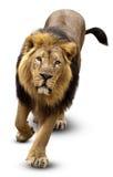 Leão asiático, persica de Pantera leo Imagem de Stock