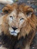 Leão asiático raro, Kerala, Índia imagens de stock royalty free