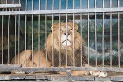 Leão atrás da gaiola das barras no jardim zoológico imagens de stock royalty free
