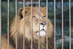 Leão atrás da gaiola das barras no jardim zoológico Foto de Stock Royalty Free