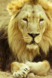Leão bonito Fotos de Stock Royalty Free