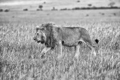 Leão bonito no arbusto no Masai mara Imagem de Stock Royalty Free