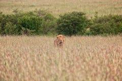 Leão bonito no Masai mara Fotos de Stock