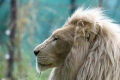 Leão branco Fotos de Stock