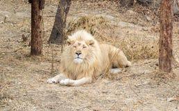 Leão branco Fotografia de Stock Royalty Free