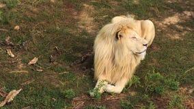 Leão branco video estoque